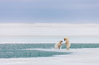 Young polar bear cubs of the year play along the open edge of water in the Beaufort Sea.