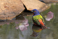 Painted Bunting male with wild Primrose reflections..