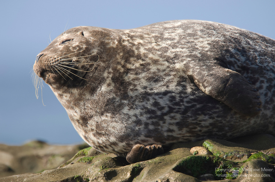 Children's Pool, La Jolla, California; Harbor Seal (Phoca vitulina), rests in the sun on the rocky reef at the edge of the Pacific Ocean