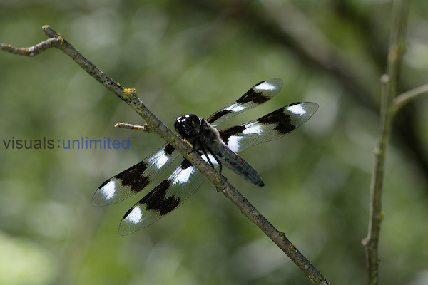 Male Eight-spotted Skimmer Dragonfly (Libellula forensis), ventral view.