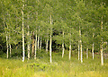 A grove of aspens stands quietly in the soft afternoon sun.