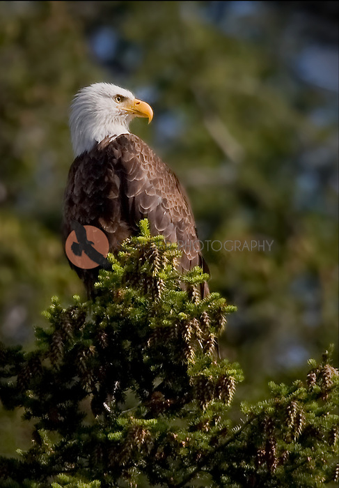 Bald eagle in profile sitting in the tip of a fir tree