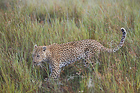 An African cheetah walks through the tall grass, Botswana, Africa