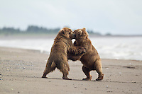 Alaskan brown bear sub-adults fighting in Lake Clark National Park