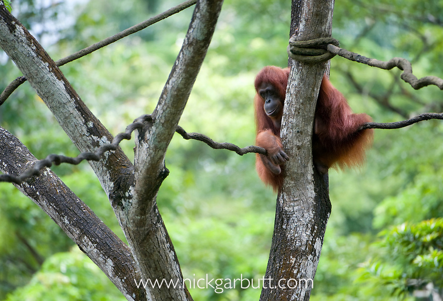 Male Sumatran Orang-utan (Pongo abelii). From Gunung Leuser NP Sumatra Indonesia. Photographed in captivity at Singapore Zoo.