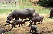 A Young Hippopotamus along Mara River. ,Hippopotamus amphibius, Masai Mara Game Reserve, Kenya