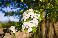Hawthorn blossom in Gloucestershire, UK