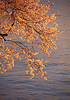 Cherry Blossoms, East Potomac Park, Washington D.C., District of Columbia, USA