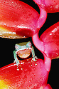 Two-colored Tree Frog on Lobster Claw Heliconia; Tambopata River, Peru
