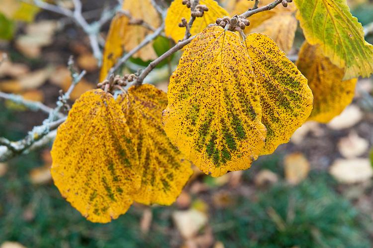 Yellow autumn foliage of witch hazel (Hamamelis x intermedia (Japonica x mollis) 'Pallida'), mid October.