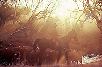 Aboriginal stock man mustering Cattle in the Outback of Australia, Northern Territory, NT