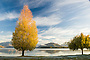 Autumn trees, lakefront, Lake Wanaka, New Zealand