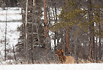 An elk stands near a snowfield at the edge of the forest in Banff National Park, Alberta, Canada.