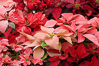 Poinsettia, Euphorbia pulcherrima, red and pink foliage plants for christmas display