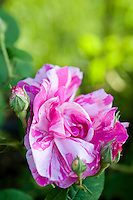 Detail of a beautiful variegated pink and white rose