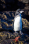 A penguin standing on lava rock on Sombrero Chino and the Bainbridge Islets, Galapagos National Park, Galapagos, Ecuador