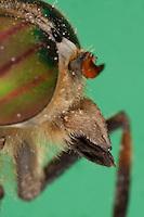 Bremse, Portrait mit Auge, Komplexauge, Facettenauge und kräftigen, stiletartigen Stechrüssel, Mundwerkzeug, Mundwerkzeuge, die Mundwerkzeuge der Bremsen sind zu einem stilettartigen Saugrüssel umgebildet, der aus Labrum, Hypopharynx und den paarigen Mandibeln und Maxillen besteht, Rinder-Bremse, Rinderbremse, Rinder - Bremse, Tabanus spec., large horsefly