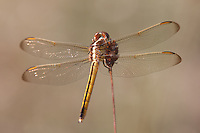 Golden-winged Skimmer (Libellula auripennis) Dragonfly - Female, Lake Kissimmee State Park, Lake Wales, Polk County, Florida
