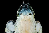Amphipod Crustacean head (Primno macropa)