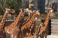 West African giraffes (Giraffa camelopardalis) in their temporary outdoor enclosure in the Zone Sahel-Soudan at the new Parc Zoologique de Paris or Zoo de Vincennes, (Zoological Gardens of Paris or Vincennes Zoo), which reopened April 2014, part of the Musee National d'Histoire Naturelle (National Museum of Natural History), 12th arrondissement, Paris, France. Picture by Manuel Cohen