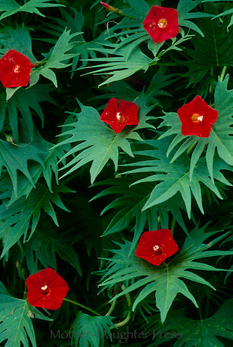 Cardinal creeper vine, Ipomoea horsfalliae, close up with red flowers and pointed leaves