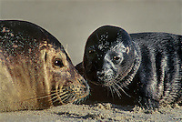 677882009 a two day old baby harbor seal and its mother phoca vitulina share a moment on the beach in la jolla cove san diego county california