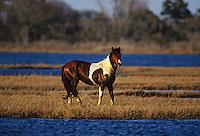 Wild Assateague Stallion  #W16