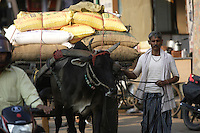 Man leading bullock / oxen cart in Varanasi, Uttar Pradesh, India