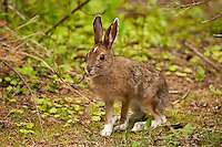 A snowshoe hare (Lepus americanus) in its summer morph amidst the scrubby lakeshore plants in Pukaskwa National Park, Ontario, Canada.