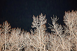 leafless cottonwood trees in sunlight with dark tree background in montana