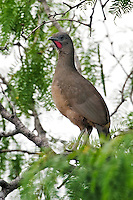 Plain Chachalaca in Mesquite Tree