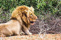 African Male Lion.  This lion had just finished a fine meal of cape buffalo. Much to his dismay, the crocodiles who outnumbered him drug the buffalo into the Sabi River in Kruger National Park.