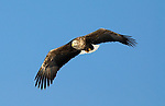 White Tailed Sea Eagle, Haliaeetus albicilla, flying, Hokkaido Island, Japan, japanese, Asian, wilderness, wild, untamed, ornithology, snow, bird of prey, in flight, blue sky, feathers, majestic, magnificent, gliding.Japan....