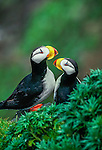 Horned puffins, Pribilof Islands, Alaska