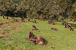 Gelada, Semien Mountains, Ethiopia