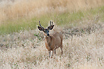 Mature deer with antlers at the National Bison Range