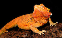 Bearded Dragon (Pogona vitticeps). Captive.