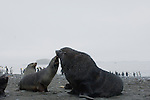 Antarctic fur seals on Prion Island, South Georgia.