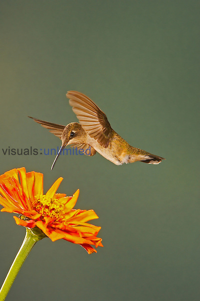 Black-Chinned Hummingbird hovering above a flower that it will seek nectar from and pollinate ,Archilochus alexandri,, Western USA.