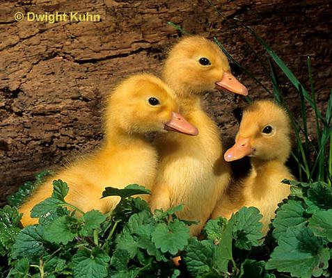 DG10-014x  Pekin Duck - four day old ducklings exploring