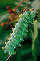 Hyalophara cecropis larvae