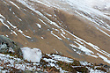 Mountain Hare (Lepus timidus) camouflaged amongst snow patches, Cairngorms National Park, Scotland. January.