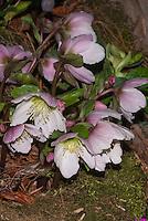 Helleborus x Pink Ice