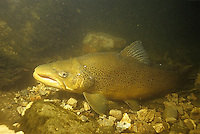 Brown Trout in Lake Michigan tributary stream<br /> <br /> ENGBRETSON UNDERWATER PHOTO