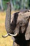 African elephant, Masai Mara National Reserve, Kenya