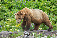 Coastal brown bear walks on driftwood amidst the rich green fields of wildflowers and vegetation along the Alaska Peninsula coast, Katmai National Park, southwest, Alaska.