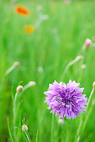 Elegance and attractive violet color flower image with beautiful soft green background. Pasture land of flowers stock photography taken by Paul Chong.