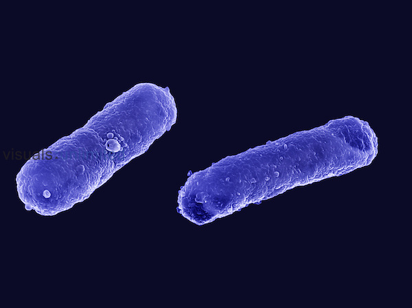 E. coli Bacteria. SEM X22,000