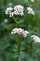 Common valerian (Valeriana officinalis), mid June. Also known as garden heliotrope and all heal.