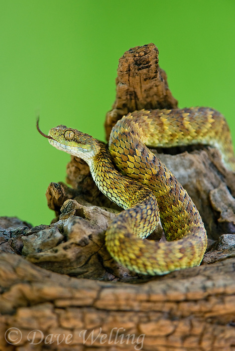489040007 a captive broadleys bush viper atheris broadleyi sits coiled on a tree limb species is native to africa